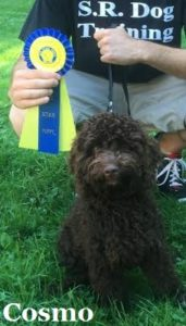 American Kennel Club AKC Puppy Training Westchester NY Labradoodle