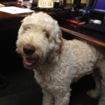 Golden Doodle Training in Westchester NY