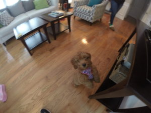 Goldendoodle Puppy Training Westchester NY