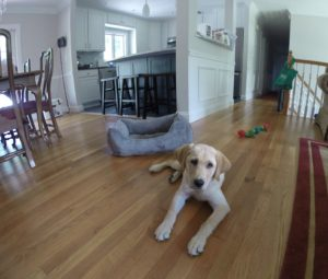 Labrador Puppy Training Putnam County NY