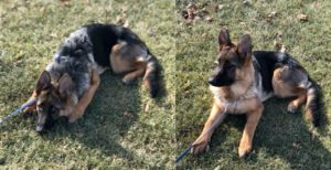 German Shepherd Training in Mahopac NY