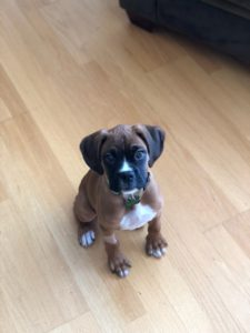 Boxer Puppy Training in Putnam NY