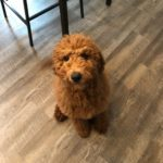 Goldendoodle Training in Putnam NY