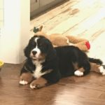 Bernese Mountain Dog Training in Westchester NY