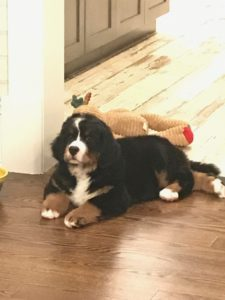 Puppy Training in Westchester and Putnam NY