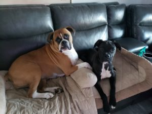 Boxer Dog Training in Putnam NY