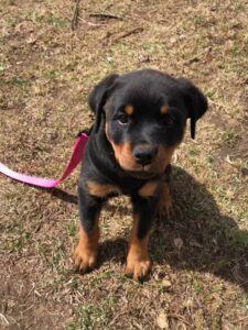 Rottweiler Puppy Training in Westchester NY